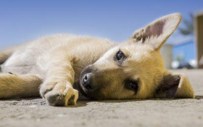 Adoptar un perro en Bogotá